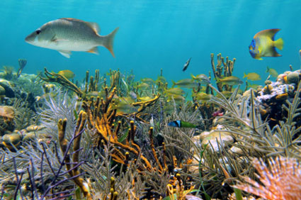 Scuba diving in the Belize barrier reef allows you to see over 500 types of fish, 65 marine corals