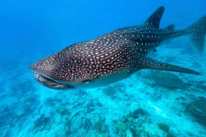 Whale shark swimming - this majestic creature grows to a massive size of 40 feet (12 metres) and an average weight of 20.6 tons
