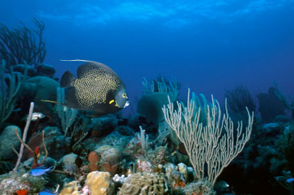 Fan coral and deep blue waters makes diving the Belize barrier reef so special