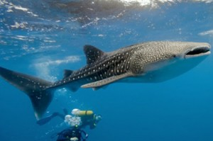 Divers swimming with the largest fish in the world - the whale shark in Belize